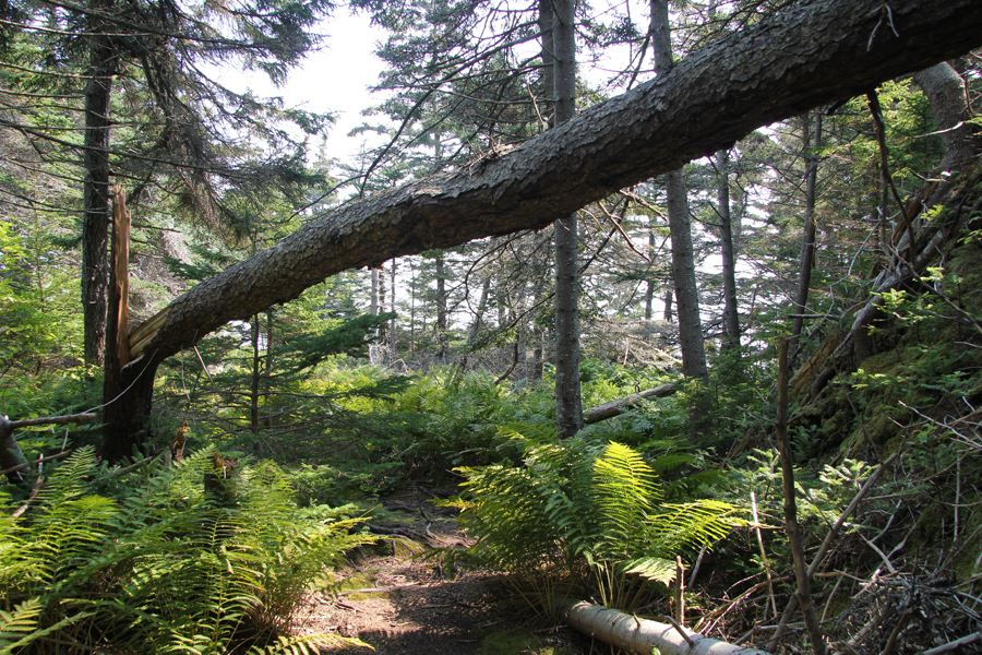 cathedral-woods-monhegan